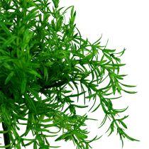 Aspargesbusgrøn 25 cm