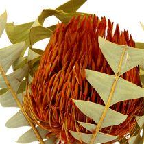 Banksia Baxterii Orange 8stk