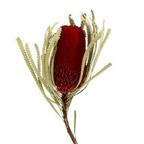 Banksia Hookerana rød 7stk