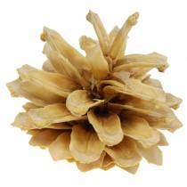 Bjerg fyrkegle Pinus mugo creme 2-5 cm 1 kg