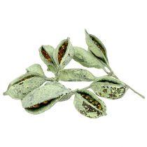 Brachyciton grøn frostet 500g