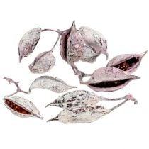 Brachyciton blackberry frostede 500g