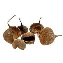 Buddha Nut Natural 15stk