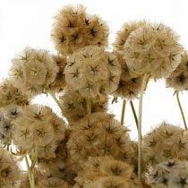 Scabiosa tørret natur Scabiosa tørrede blomster H50cm 100g
