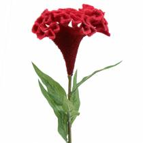 Celosia cristata hanekam rød 72cm