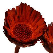 Compacta roset orange (37) 40stk