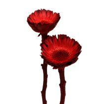 Compacta roset rød (36) 40stk