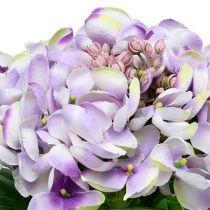 Hortensia lilla-hvid 60 cm
