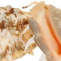 Lambis marine gastropod naturlige 14 cm 10stk