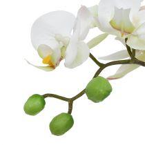 Phalaenopsis creme i en keramisk gryde 33 cm