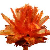 Plumosum 1 orange 25p