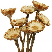 Protea Compacta Rosette Naturligt Tørret Blomst Sukker Bush 8stk
