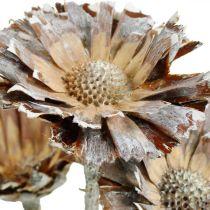 Eksotisk Mix Protea Roset Naturlig, Hvidvasket Tørret Blomst 10stk