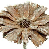 Protea roset 8-9cm hvidvasket 25stk