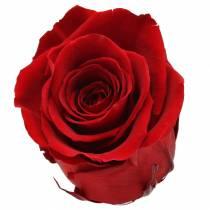 Infinity roser store Ø5,5-6cm rød 6stk