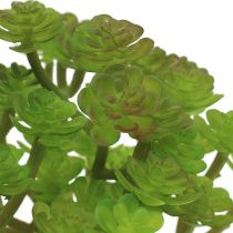 Sedum stonecrop i en gryde 15 cm