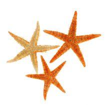 Starfish tørret 8 cm - 10 cm 10stk