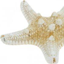 Starfish Nature Maritime Table Decoration 5-8cm Real Starfish 20stk