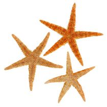 Starfish mix 8cm - 10cm 50p