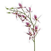 Edderkoporkideer Brassia Pink-White 108cm 3pcs