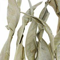 Strelitzia blade tørret grøn frostet 45-80cm 10stk