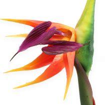 Strelitzie paradis fuglblomst 62cm
