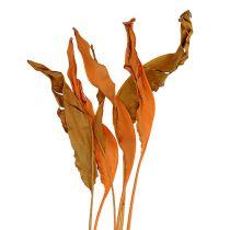 Strelitzia efterlader orange 120 cm 20stk