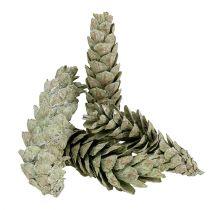 Strobus kegler som en naturlig dekoration 15cm - 20cm grøn 50p