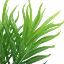 Sukkulentplante Senecio ragwort grøn 20 cm