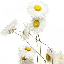 Tørrede blomster Acroclinium Hvide blomster Tørrede blomster 60g