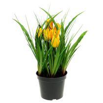 Tulipaner i en gryde gul 30cm