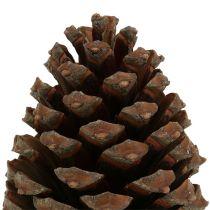 Kegler Pinus Maritima 10cm - 15cm naturlige 3stk