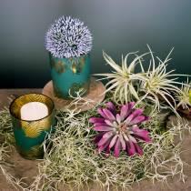 Sukkulent plante 15 cm lilla