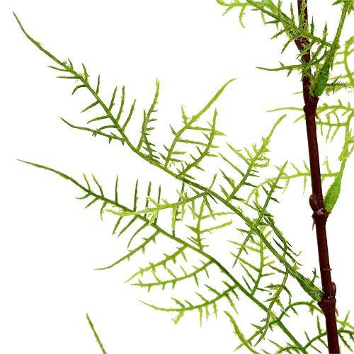 Aspargesgren 75 cm grøn 3stk
