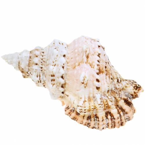Havsnegl gigantisk frosksnegl naturlig 18-20cm