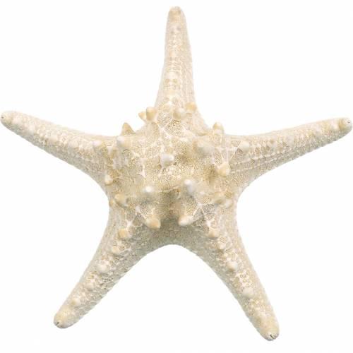 Starfish natur 12-16cm 8stk